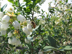 カナダ・ブルーベリーの花